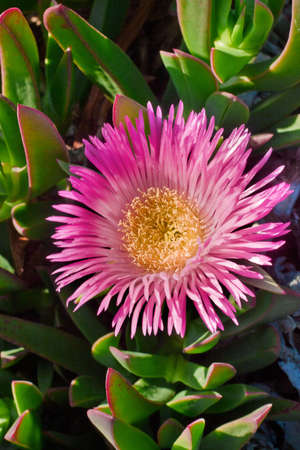 invasive plant: Hottentot fig, detail of flower in vertical composition Stock Photo