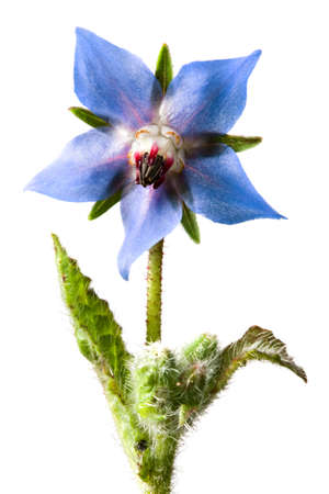 studio shot of borage flower in vertical composition Stock Photo