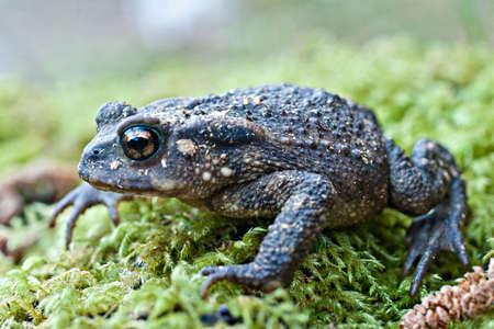 Erdkröte auf Moos Standard-Bild - 24752070