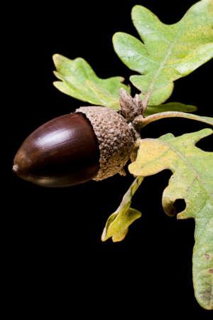 Detail of acorn on black background