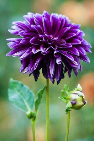 Dark purple dahlia with ruffled petals