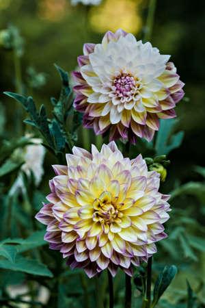 Decorative dahlia, mix of yellow and purple Stock Photo