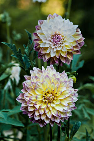 Decorative dahlia, mix of yellow and purple Standard-Bild