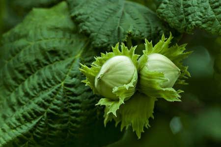 Corylus avellana, leaves and nuts detail Standard-Bild