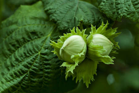 Corylus avellana, leaves and nuts detail Stock Photo