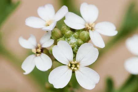 White flowers of European Searocket