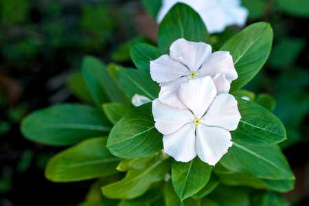 White balsam blossom. Impatiens Walleriana