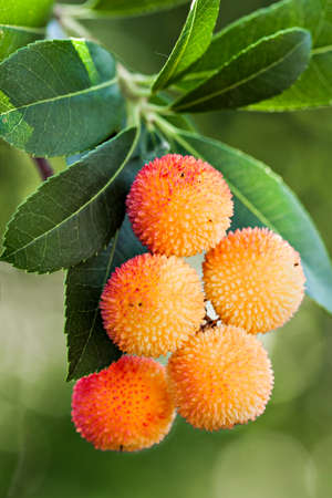Ripe fruits of Arbutus unedo in vertical composition Stock Photo