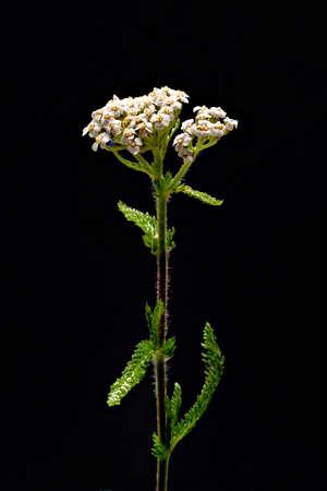 Common yarrow plant on black background Standard-Bild