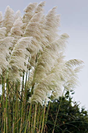 invasive plant: Pampas grass detail in vertical composition Stock Photo