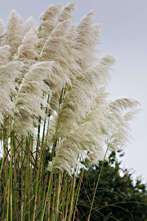 Pampas grass detail in vertical composition Standard-Bild
