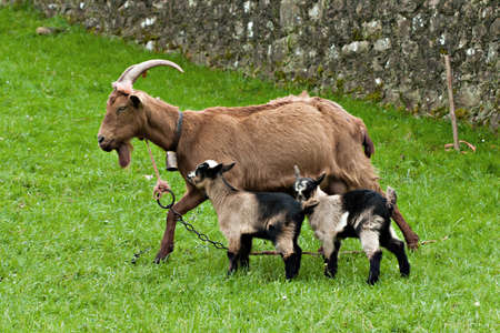 Goat with two baby goats on pasture