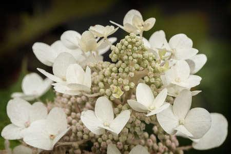 Hydrangea quercifolia. Detail of white flowers