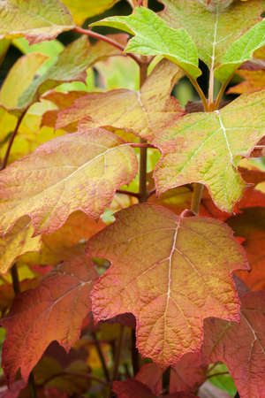 Fall colors in the leaves of oakleaf hydrangea