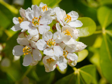 orange blossom: White flowers of mexican orange blossom