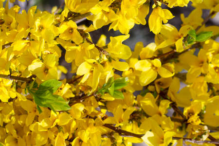 Blossoming of yellow flowers background