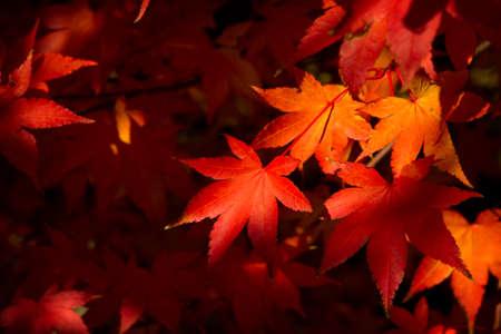 Farbige Herbstlaub der japanischen Ahorn Standard-Bild - 65811426