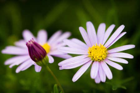Detail od Swan river daisy blossom Standard-Bild
