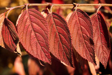 Fall color of Japanese snowball leaves