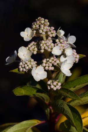 Hardy hydrangea blooming start