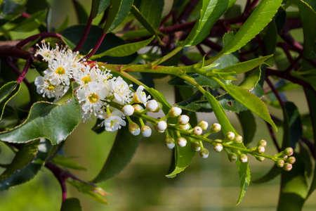 White flowers raceme of Portugal laurel
