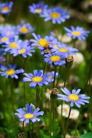 Blue Daisy flowering shrub in vertical composition Standard-Bild