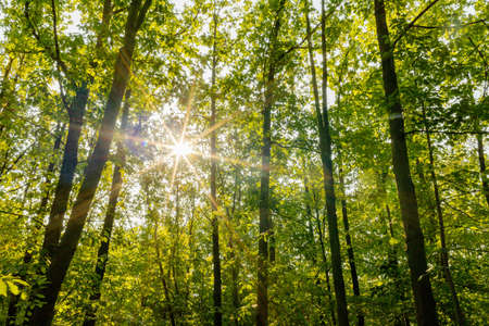 Morning in the deciduous forest. Rays of the sun. August among the trees. Europe, Poland, Mazovia. Stock fotó