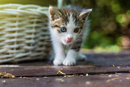 A young, wild kitten. Wicker, white basket. Bokeh background. Country life. Poland, Masovian village. Stock Photo