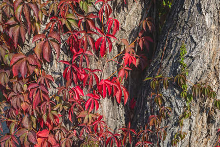 Red wild wine leaves. Autumn colors. Creeper on the tree. Northern Europe in October. Stock Photo