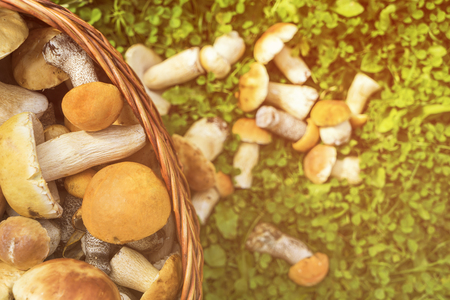 Basket of porcini and brown cap boletus mushrooms on green grass at day time Stock Photo