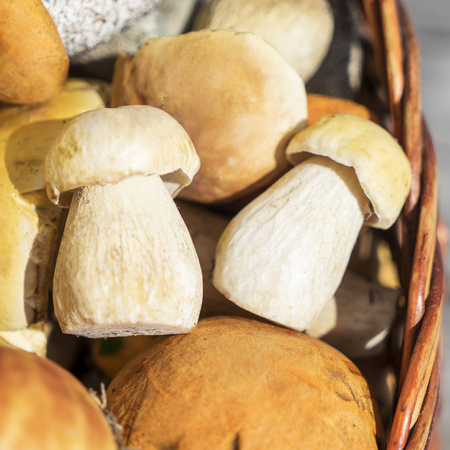 Basket of porcini and brown cap boletus mushrooms on wooden table at day time