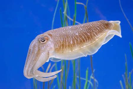 Swimming squid