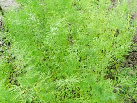 Green fennel plant texture macro background Stock Photo