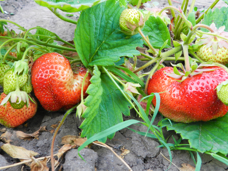 cultivating: Green strawberry plant with red and green strawberies