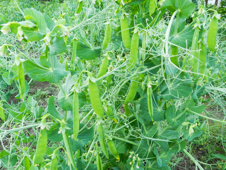 Green young peas plant close up photo in the garden Stock Photo