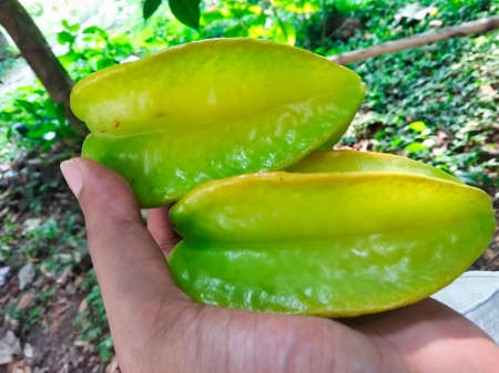 Fresh green star fruit in the hand, just picked from the tree
