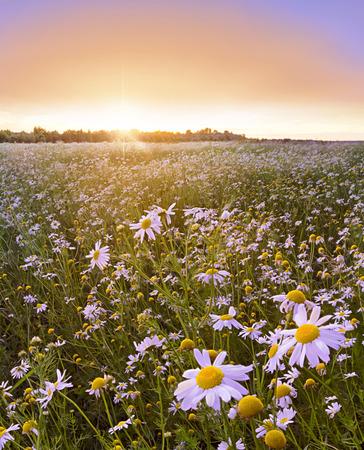 dreamscape: Sunflowers field