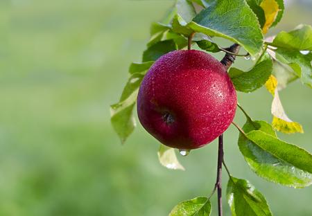 arbol de manzanas: Jugosa manzana en el jardín Foto de archivo