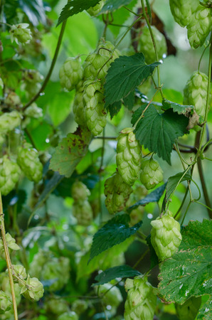 hopfield: Ripe hop cones in the garden. Beer production component