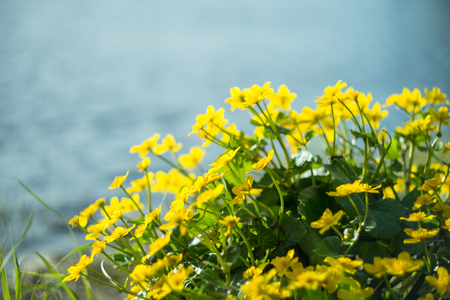 Yellow wild flowers by the river with sun rays stock photo picture stock photo yellow wild flowers by the river with sun rays mightylinksfo