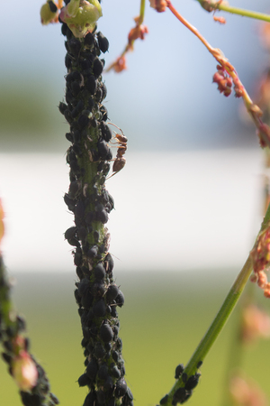 Aphid infestation of garden plants. Close up