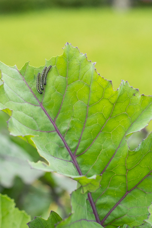 The caterpillar larvae of the cabbage white butterfly eating the leaves of a cabbage.