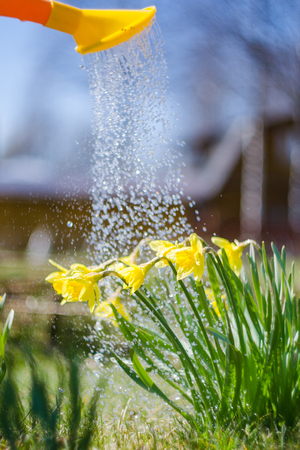 Yellow blooming daffodil with water drops. Sunny day. It rains in sunny day. Low angle. Sunshine. Sunrise. Shallow depth of field.