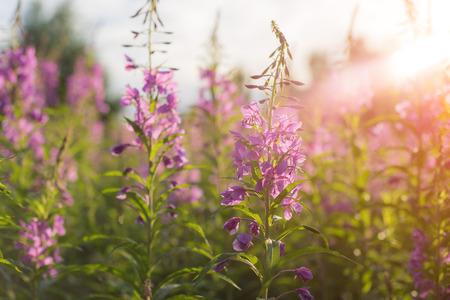 Willow herb Ivan tea in the warm summer light