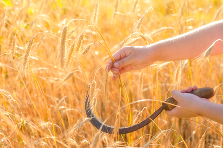 Girl cuts a sickle rye. Sickle is a hand-held traditional agricultural tool in farmers hand preparing to harvest