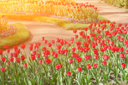 Flower tulips background. Beautiful view of red tulips under sunlight landscape at the middle of spring or summer. Peterhof. Saint-Petersburg. Russia