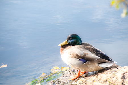 wild male duck basking on the stone
