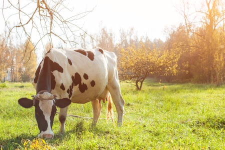 beautiful white red-haired young cow on pasture looking at camera Stockfoto
