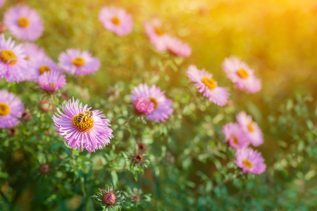 Sweet pink purple cosmos flowers in the field with blue sky background in cosmos field and copy space useful for spring background or greeting card. Stok Fotoğraf