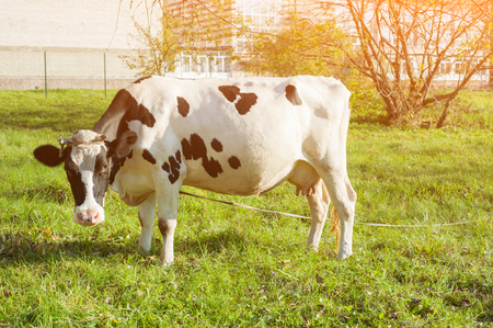 beautiful white young cow on pasture looking at camera. Stockfoto